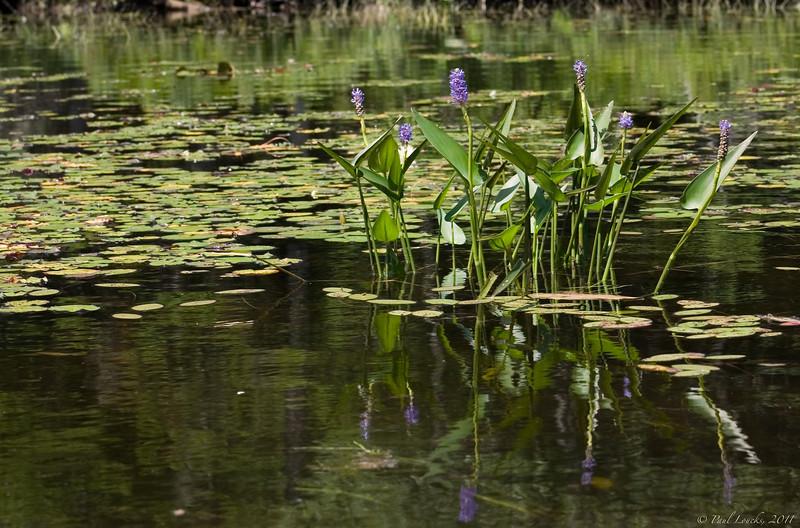 Les herbiers comme ceux-ci sont excellents pour la pêche au brochet maillé. Les fleures mauve s'appellent d'ailleurs des