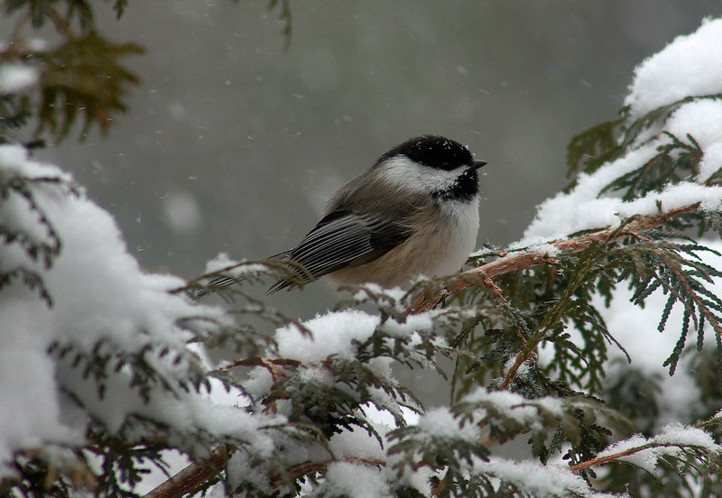 Chickadee awaiting its turn at our birdfeeder.